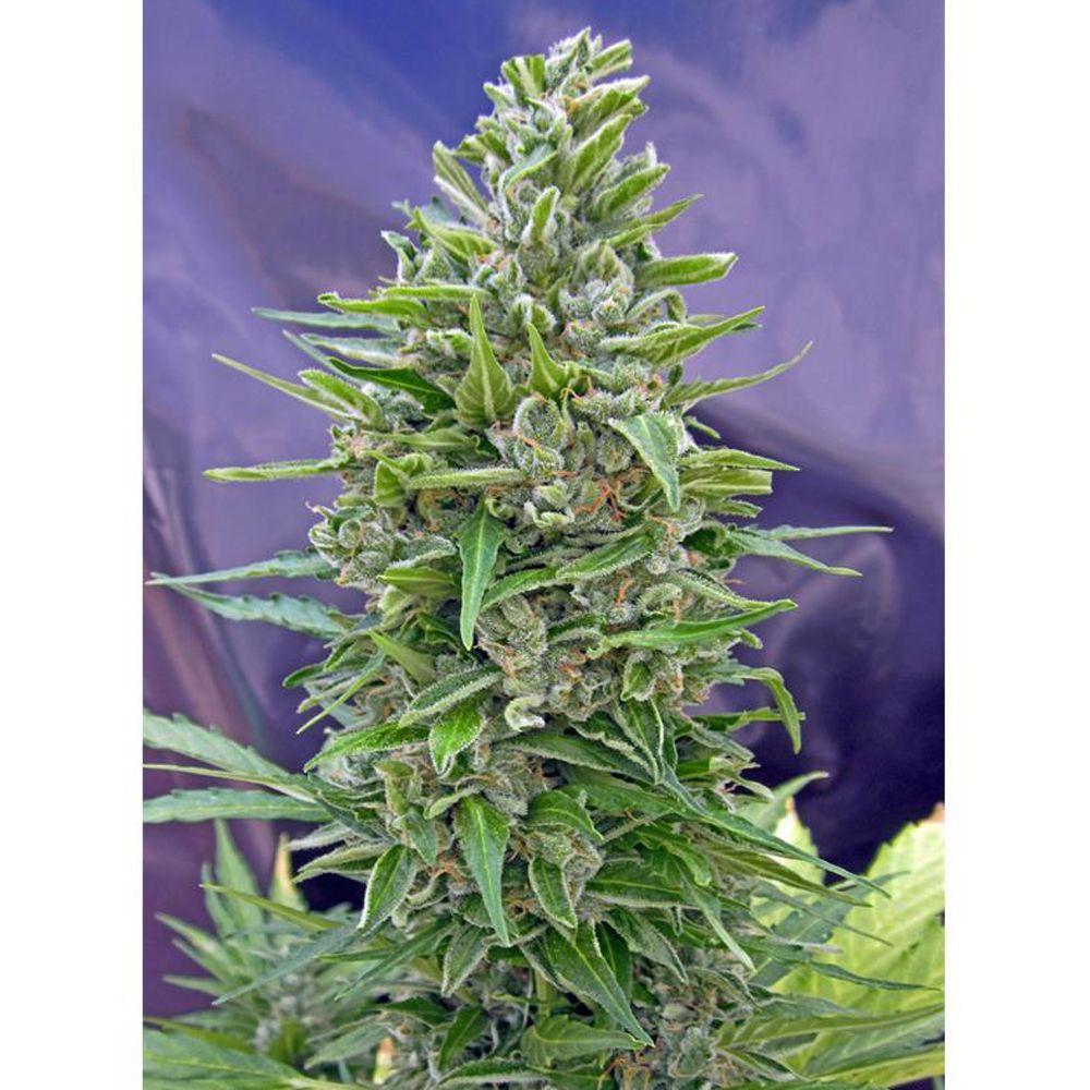 Autofloración Mix 5 Seeds