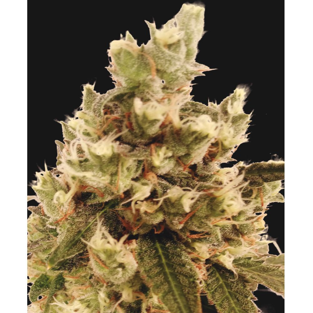 Mr.Gorilla Cream 3 Seeds