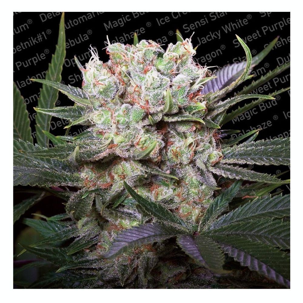 Californian Gold 5 Seeds