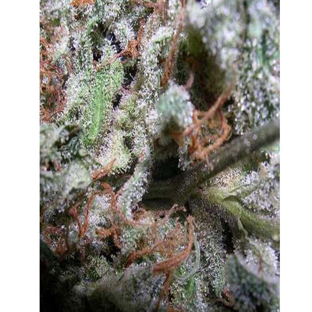 Colección Indica 6 Seeds
