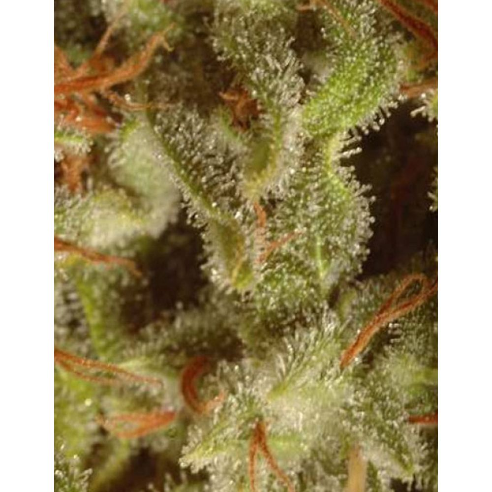Colección Sativa 6 Seeds