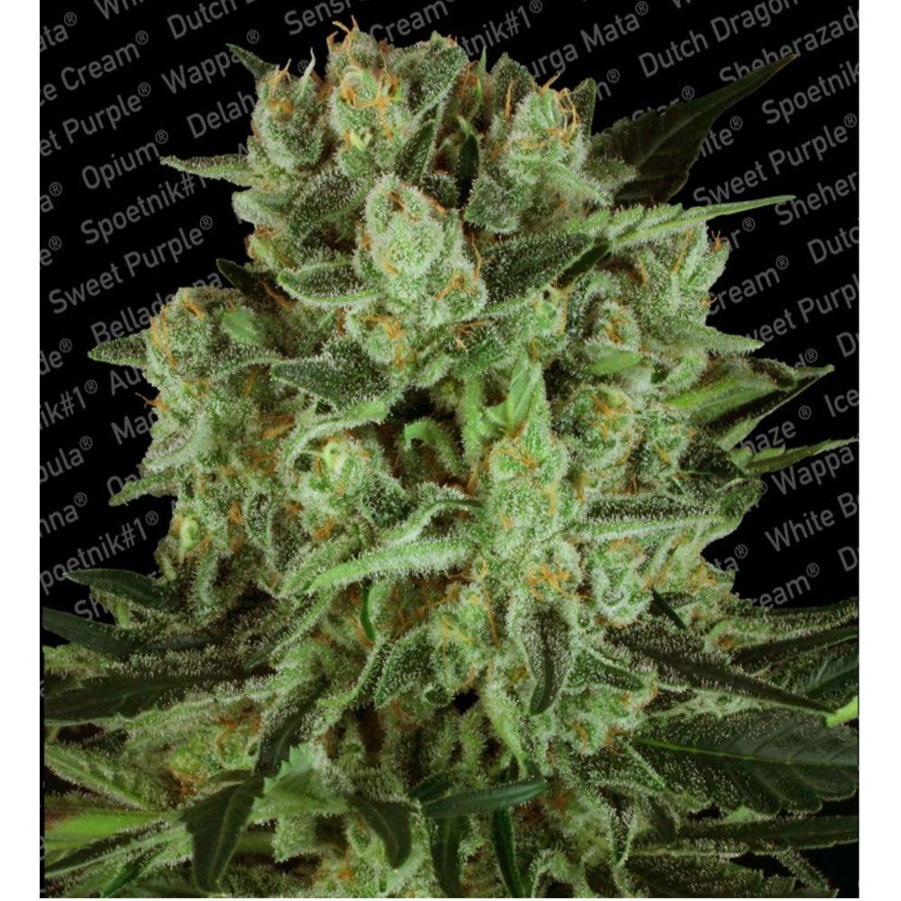 Durga Mata II CBD 3 Seeds