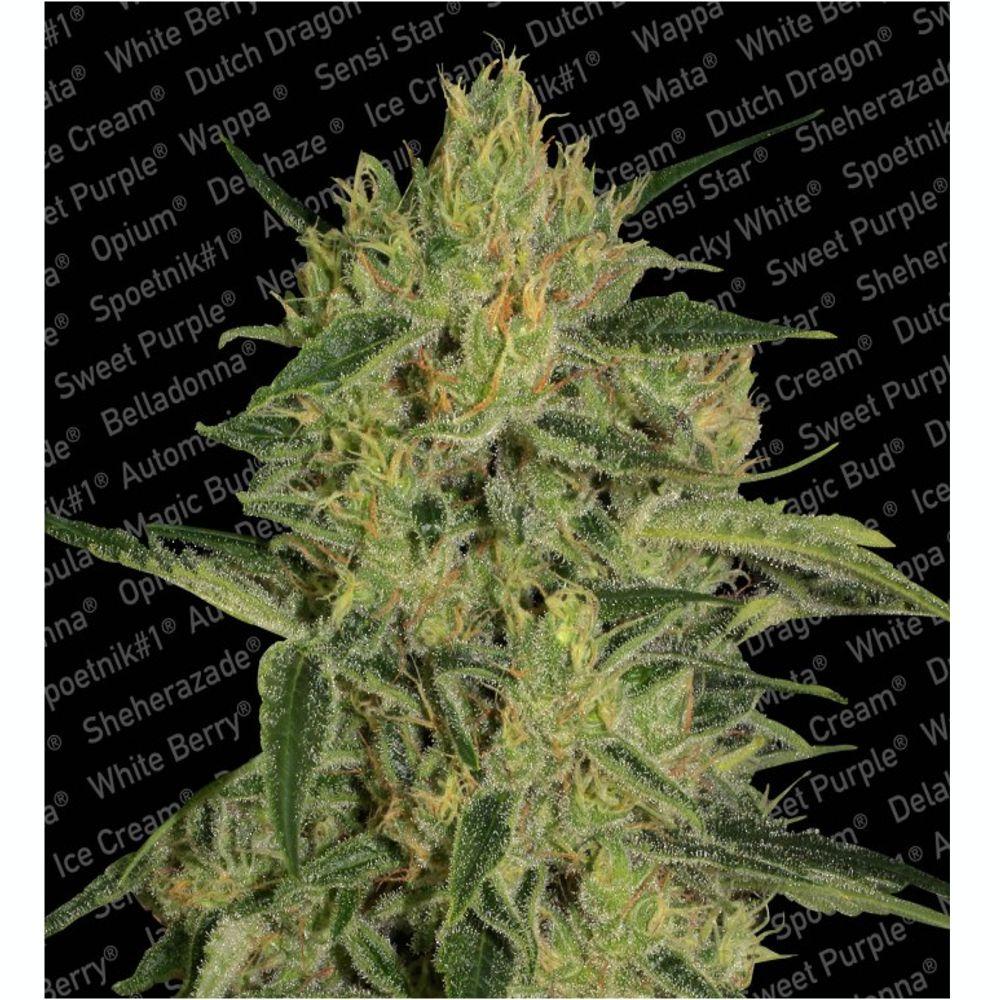 Nebula II CBD 3 Seeds