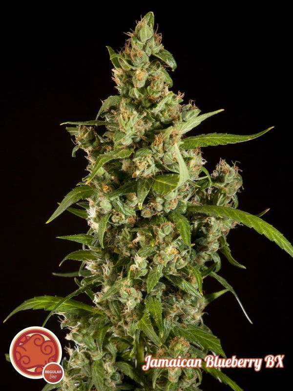 Jamaica Blueberry BX 5 Seeds