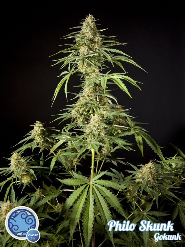Philo Skunk 3 Seeds