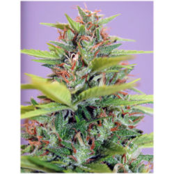 SOUTH MOUNTAIN GOLDEN (1) 100% XTREME SEEDS