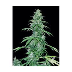 SOUR RYDER S1 ASB (1) 100% XTREME SEEDS