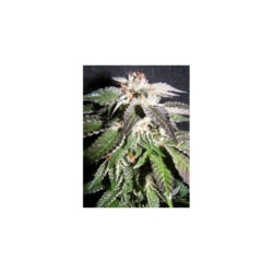 CONFIDENCIAL OG (1) 100% THE KUSH BROTHERS SEEDS