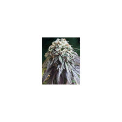 THE DARK SIDE (1) 100% THE KUSH BROTHERS SEEDS