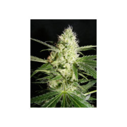 YELLOWSTONE (1) 100% THE KUSH BROTHERS SEEDS