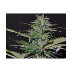 AUTO BILBERRY (1) 100% EXCLUSIVE SEEDS BANK