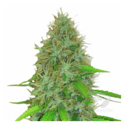 2 FAST 2 VAST AUTO (3) HEAVYWEIGHT SEEDS