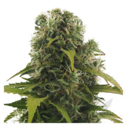 HIGH DENSITY AUTO (3) HEAVYWEIGHT SEEDS