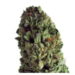 BUDZILLA (3) 100% HEAVYWEIGHT SEEDS