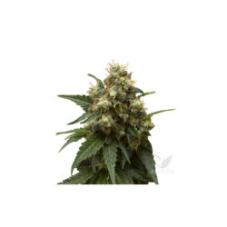 ICE (1) 100% ROYAL QUEEN SEEDS