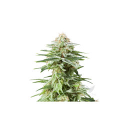 WHITE WIDOW (1) 100% ROYAL QUEEN SEEDS