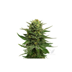 BLUE MYSTIC (1) 100% ROYAL QUEEN SEEDS