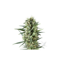 SPECIAL KUSH 1 (1) 100% ROYAL QUEEN SEEDS