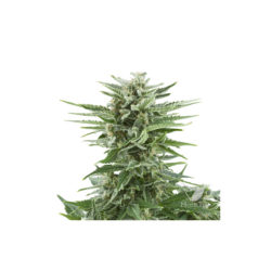 EASY BUD AUTOMATICA (1) ROYAL QUEEN SEEDS