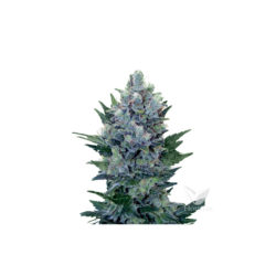 NORTHERN LIGHT AUTOMATIC (1) ROYAL QUEEN SEEDS