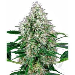 PURE POWER PLANT AUTO (3) WHITE LABEL