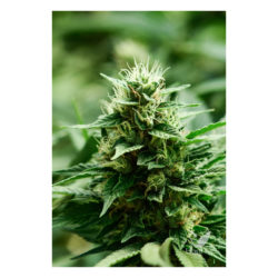 Mexican candy (1) 100% super strains (hy-pro)