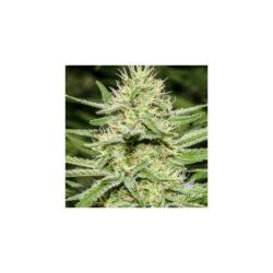 Enermy's dream (1) 100% super strains (hy-pro)