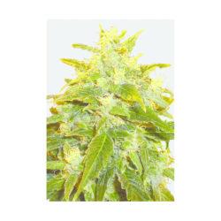 PURE POWER PLANT (5) 100% NIRVANA