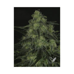 BLACK VALLEY (1) 100% RIPPER SEEDS
