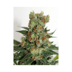 FUEL OG (1) RIPPER SEEDS