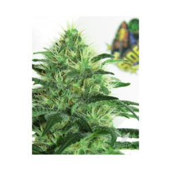 SIDERAL (1) 100% RIPPER SEEDS