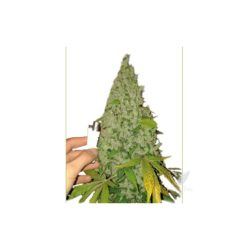 CATALIZE SKUNK (5) 100% LOW COST