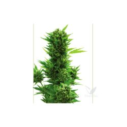 CRITICAL 3G AUTO (5) 100% LOW COST