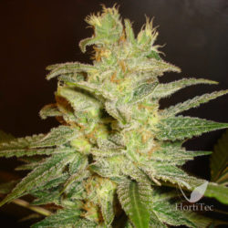 NORTHERN LIGHT X BIG BUD EARLY HARVEST (3) 100% WORLD OF SEEDS