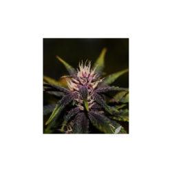 Purplediol auto cbd (3) 100% cbd elite seeds