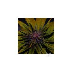 Dark rose auto cbd (3) 100% elite seeds