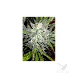 Mamba auto xxl (3) sheer seeds