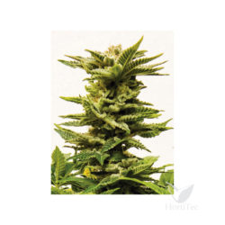 Diesel auto xxl (3) sheer seeds