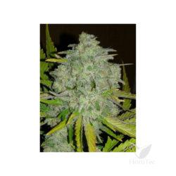 Rosenthal (3) 100% sheer seeds