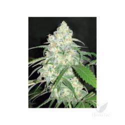 Amnesia thc (3) 100% sheer seeds