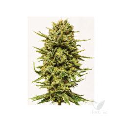 Kush (3) 100% sheer seeds