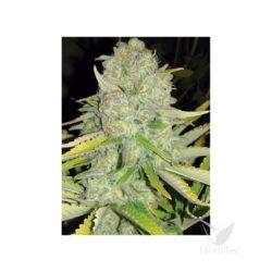 Dancehall cbd (3) 100% sheer seeds