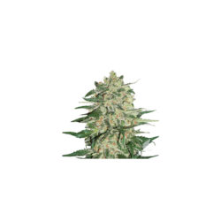 Big bud (3) 100% seed stockers