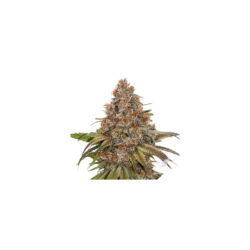 Blackberry gum (3) 100% seed stockers