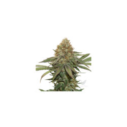 Fruit cake (3) 100% seed stockers