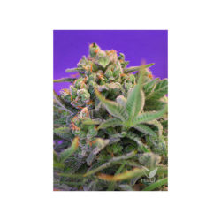 SWEET CHEESE F1 FAST VERSION (3) 100% SWEET SEEDS