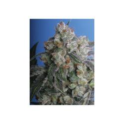 BURMESE KUSH (BUKU) (2) 100% T.H. SEEDS