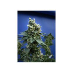 Sage 'n sour (2) 100% t.h. seeds