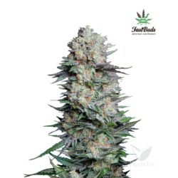 MEXICAN AIRLINES (1) AUTO FASTBUDS