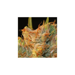 MK-ULTRA KUSH X BUBBLEGUM (2) 100% T.H. SEEDS